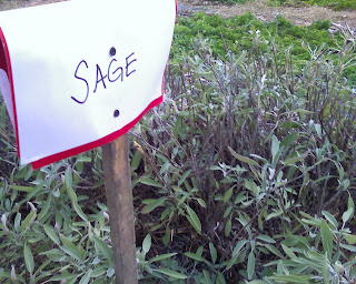 sage in the herb garden