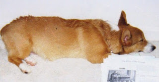 beloved pembroke welsh corgi sleeping