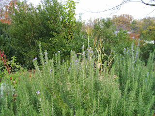 rosemary bushes