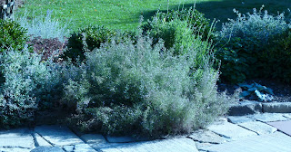 thyme bushes