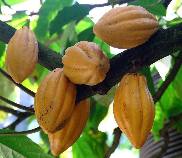 Theobroma-cacao-Cocoa - Butikaw, butikaw, kakaw! - Photos Unlimited