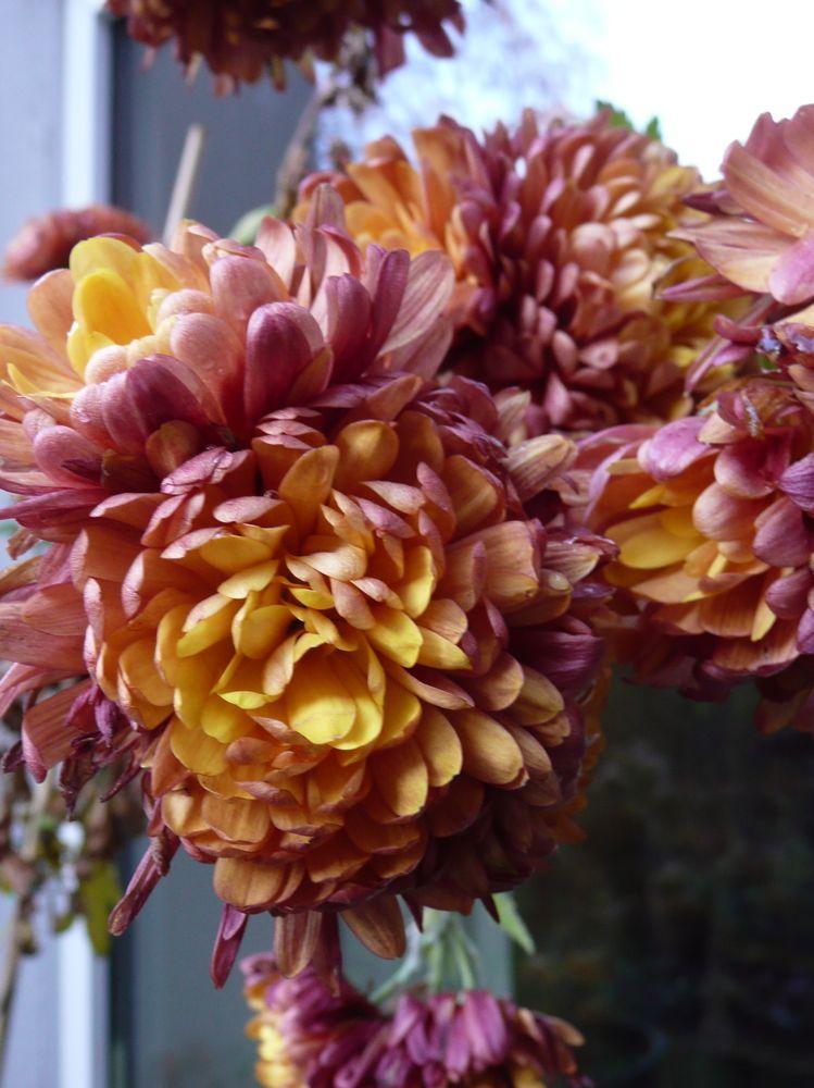 [Chrysanthemum+]