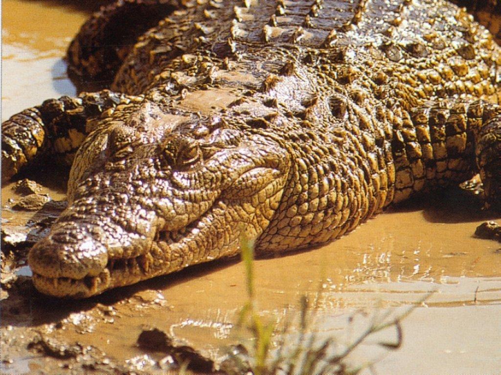 Sexo con un cocodrilo