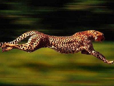 FOTOS: Los tres animales terrestres más rápidos del mundo  - imagenes de animales terrestres