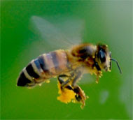 Bee Colony Collapse Disorder in US.