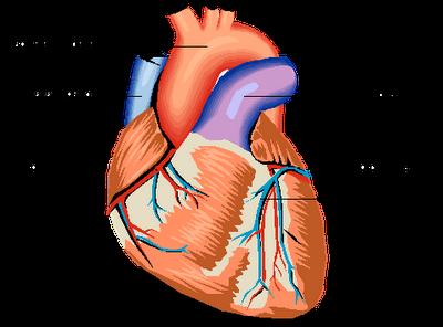 Partes+del+corazon+humano