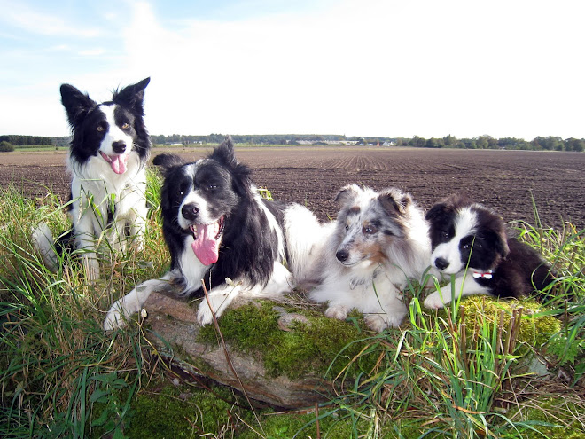 Hazyland Border Collies & lille Biscuit