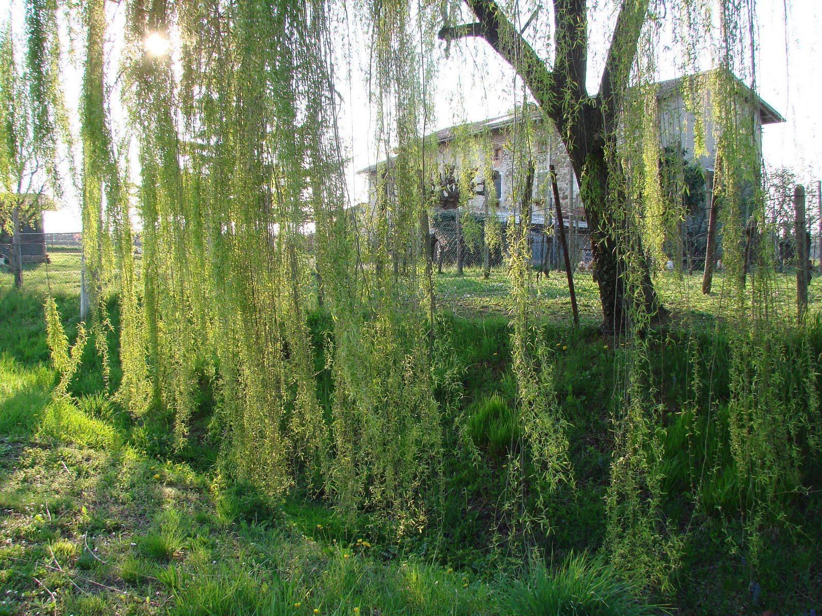 Yushui flowers siamo come lacrime tribali sopra i rami di for Rami di salice
