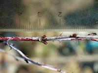 ニガイチゴの冬芽