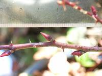 モミジイチゴ(キレハ)の冬芽