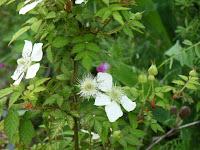 ヒメバライチゴ花1