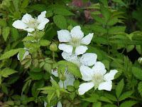 ヒメバライチゴ花2