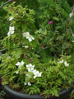 ヒメバライチゴ花3