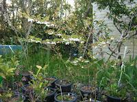 モミジイチゴ八分咲き