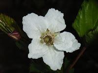 ヒメカジイチゴ開花