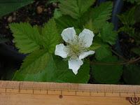 ボイセンベリー開花