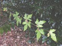 前年葉付きモミジイチゴ