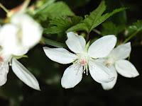 モミジイチゴの花