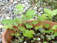 エビガライチゴ苗2