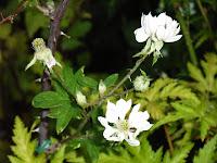 エバーグリーン開花