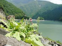 水窪湖を望むフジアザミ