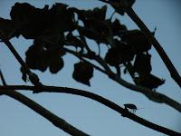ツヤアオカメムシの木