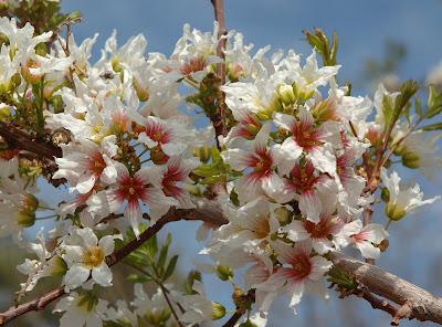 Fleurs,....fruit,.....tout ce qui se mange,...se boit....ou qui vient de la nature.......... - Page 5 Yellowhorn