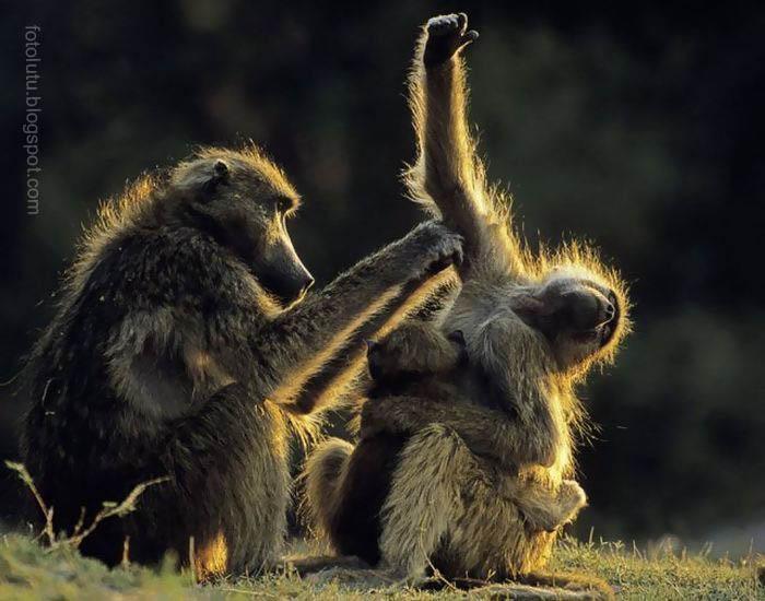 Monyet Garuk-Garuk Ketek