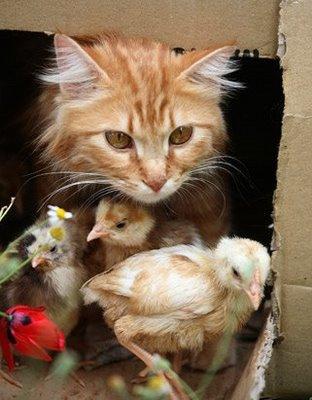 Kucing Imut Bersahabat Dengan 8 Anak Ayam