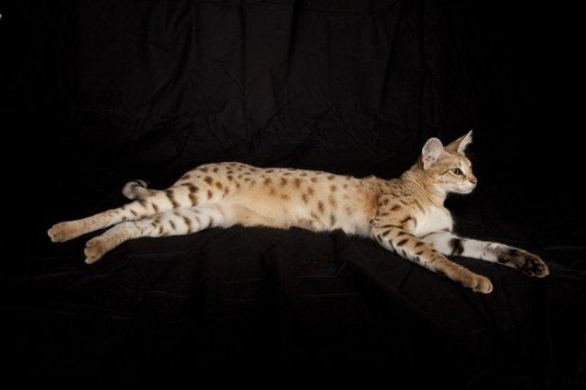 Kucing Tertinggi Di Dunia Memiliki Badan Dan Tungkai Yg Panjang