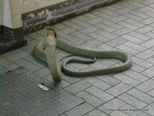 Foto Asli Ular Kobra Kedua