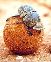 Escaravelho rola bosta