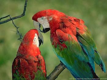 Nuri bird