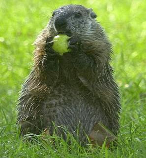 The groundhog nibbles my nuts yet again