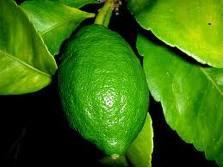 Planta del limón