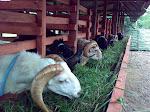 Farm Domba Tangkas
