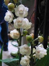 Flor Nacional de Panamá