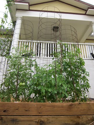 Staking Tomatoes with Concrete Reinforcing Mesh | Root Simple