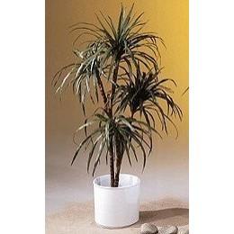 pflegetipps f r palmen 6 hilfreiche tipps f r die pflege ihrer yucca. Black Bedroom Furniture Sets. Home Design Ideas