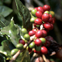Ripe coffee cherries – on the farm in India