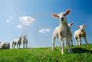 ovejas de su prado