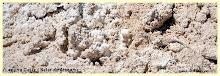 16 . Lagartija del Salar de Atacama