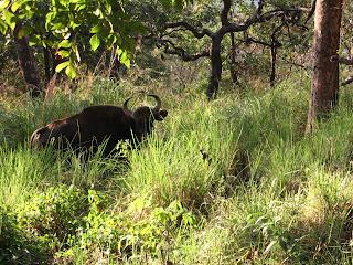 Grandiose Bison