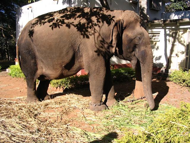Kanthi (the elephant)