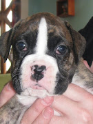 Daisy's Boxer Puppies: PuppiesGirls