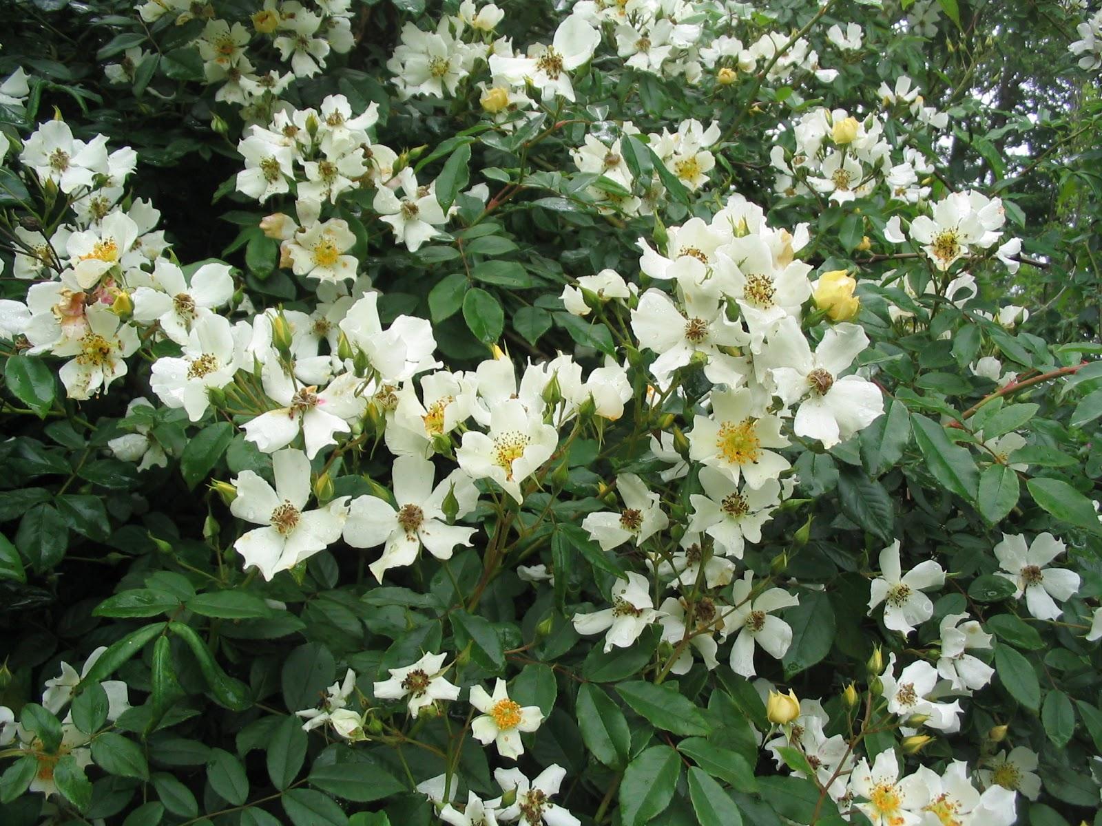 Le jardin de brigitte alsace un autre superbe rosier liane for Rosier jardin de france