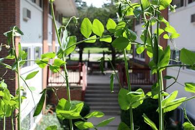 Balcony garden peas