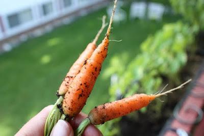 Balcony garden carrots