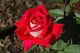 Love Grandiflora Rose My rose garden-