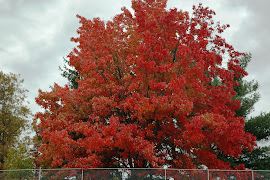 Pennsylvania red tree